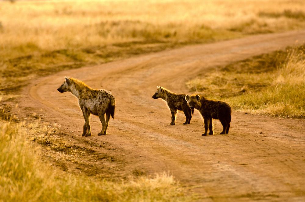 Spotted hyenas, Serengeti National Park, Tanzania