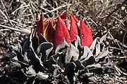 A red succulent grows on a coastal bluff at La Bufadora near Ensenada, Baja California Norte, Mexico.
