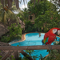 A captive Scarlet Macaw (Ara macao) perches in a treehouse at Casa Fitzcaraldo, a guesthouse in Iquitos, Peru.
