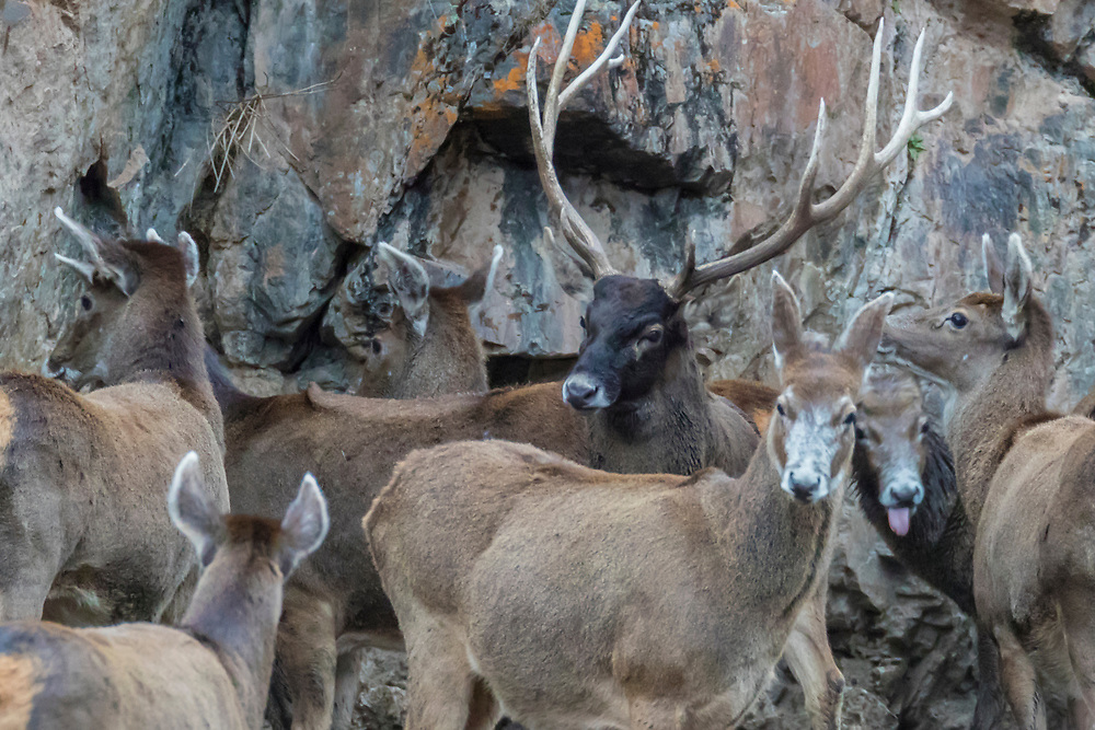 A herd of White-lipped deer also called Thorold's deer, Cervus albirostris, 白唇鹿, one male buck with his females  standing at the tibetan plateau in Serxu, Garze Prefecture, Sichuan Province, China