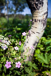Sticky geranium, aspen, wildflowers of Grand Teton National Park