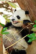 San Diego Zoo, Panda, California (SD)