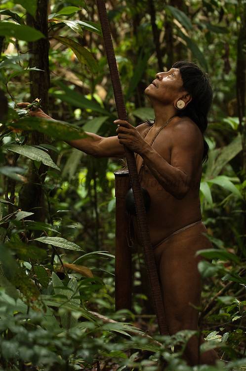 Huaorani Indian - Menga Darita hunting in the forest with his blowgun. Gabaro Community. Yasuni National Park.<br /> Amazon rainforest, ECUADOR.  South America<br /> This Indian tribe were basically uncontacted until 1956 when missionaries from the Summer Institute of Linguistics made contact with them. However there are still some groups from the tribe that remain uncontacted.  They are known as the Tagaeri & Taromanani. Traditionally these Indians were very hostile and killed many people who tried to enter into their territory. Their territory is in the Yasuni National Park which is now also being exploited for oil.