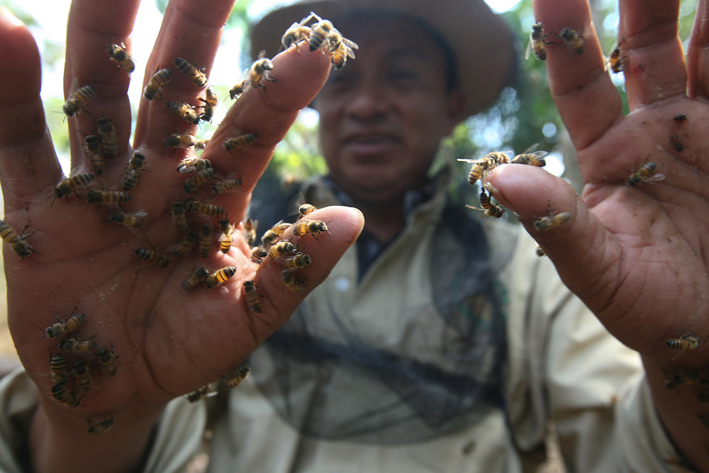 Antonio Gilberto Paz de los Santos, apiculture technical support officer from the coop, holds a handful of 'Italian' bees in his unprotected hands. The careful management of the queen bees in the area has eliminated the dangerous and defensive africanised bees. Cooperativa de producción integral apicultores del sur occidental RL, COPIASURO, is a Fairtrade-certified honey producer based in El Sitio, Catarina, San Marcos, Guatemala. COPIASURO collects and markets honey from apiaries from small-scale beekeepers in the San Marcos, Quetzaltenango, Huehuetenango and Alta Verapaz regions, that covers highlands and lowlands.
