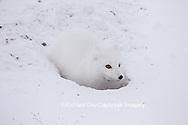 01863-01717 Arctic Fox (Alopex lagopus) at food cache, Cape Churchill, Wapusk National Park, Churchill, MB Canada