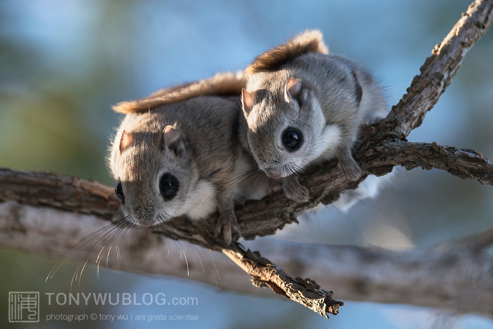 This is a pair of Pteromys volans orii flying squirrels that have just emerged from their nest early in the morning during the winter reproductive season. The individual on the left is female, right male. After preening together, the pair ascended into the canopy to forage. They mated 10 days after this photo was taken.