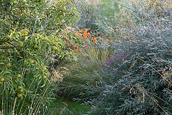 Salix purpurea 'Nancy Saunders' with Lythrum virgatum, Crocosmia 'Late Cornish' and Elaeagnus 'Quicksilver' beyond. Pear tree in fruit to the left