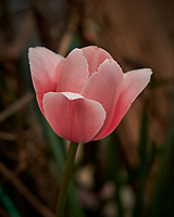 Pink Tulip Flower. Image taken with a Nikon D850 camera and 105 mm f/1.4 lens (ISO 64, 105 mm, f/4, 1/250 sec)