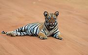 Bengal tiger cub, six months old. Tadoba NP, India.