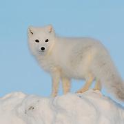 Arctic Fox (Alopex lagopus) near Churchill, Manitoba, Canada.