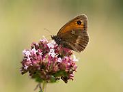 Gatekeeper Butterfly, (Pyronia tithonus) male, nectaring on Wild Thyme (Thymus serphyllum) flower, Kent UK