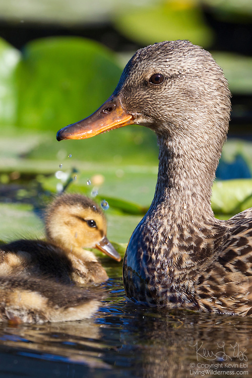 A mallard duck (Anas platyrhynchos) watches over one of her ducklings, which is less than a week old, in the wetlands of the Washington Park Arboretum in Seattle, Washington.