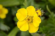 Alpine avens, wildflower, Colorado