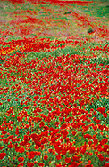 The brilliant reds of the poppies, roses, tulips and carnations of spring and summer are a direct influence on the color palette of Kazakh art.  These poppies are near Ordabasy in Southern Kazakhstan.