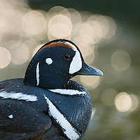 02.06.2008.Harlequin duck (Histrionicus histrionicus) male.Laxa River, Mývatn, Iceland