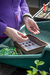 Pre-germinating runner bean seeds on damp kitchen paper for earlier bean crop