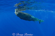 baby sperm whale calf ( Physeter macrocephalus ) - Endangered Species - takes a breath at the surface - remoras ( suckerfish ) cling to whale for a free ride - Kona Hawaii ( Central Pacific Ocean )