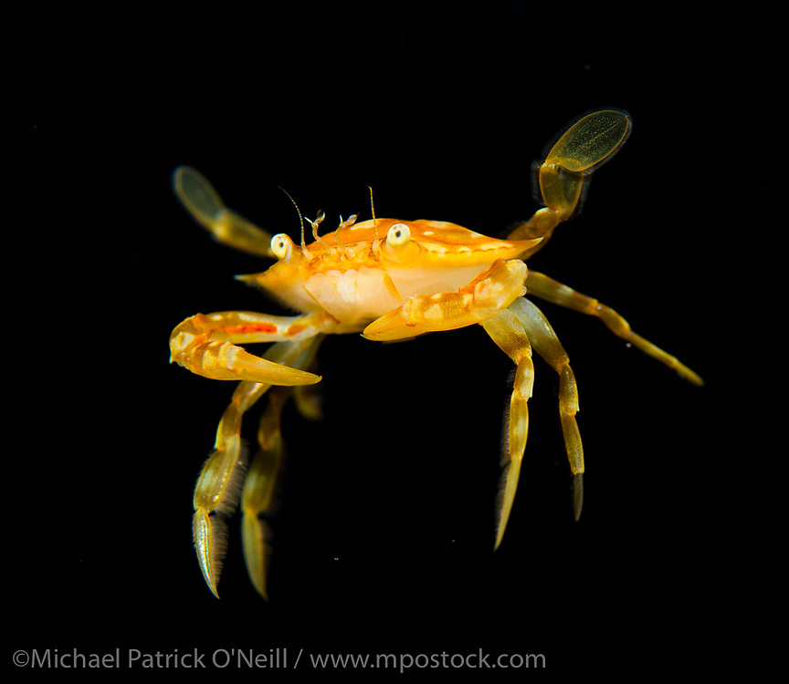 An unidentified pelagic crab drifts in the Gulf Stream current offshore Palm Beach, Florida, United States during a blackwater dive late in the evening.