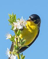 Male Lesser Goldfinch, Carduelis psaltria, feeds on flowers in a plum tree in Berkeley, California