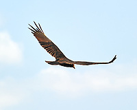 Turkey Vulture (Cathartes aura). Crooked Tree Wildlife Sanctuary. Image taken with a Nikon D3s camera and 70-300 mm VR lens