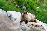 A Hoary Marmot (Marmota caligata) relaxing on the rocks along the Golden Gate Trail in the Paradise area of Mount Rainier National Park in Washington State, USA