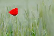 France, Languedoc Roussillon, Lozère (48), Cevennes,  fleur de Coquelicot, N.L.: Papaver rhoeas, (Papavéracées)