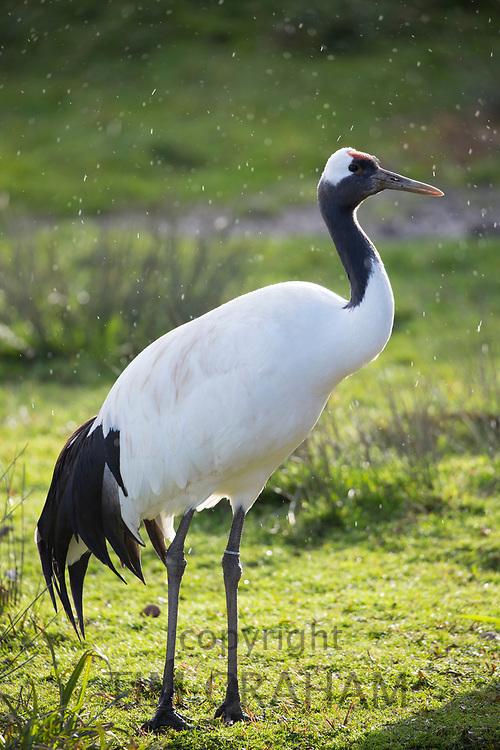 Whooping Crane - Grus Americana - tallest North American bird standing at Slimbridge Wildfowl and Wetlands Centre, England, UK