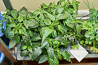 AeroGarden Farm 02, Left. Pepper Plants (127 days). Image taken with a Leica TL-2 camera and 35 mm f/1.4 lens (ISO 640, 35 mm, f/8, 1/30 sec).
