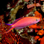 Princess Anthis inabit reefs. Picture taken North of Alor, Indonesia.