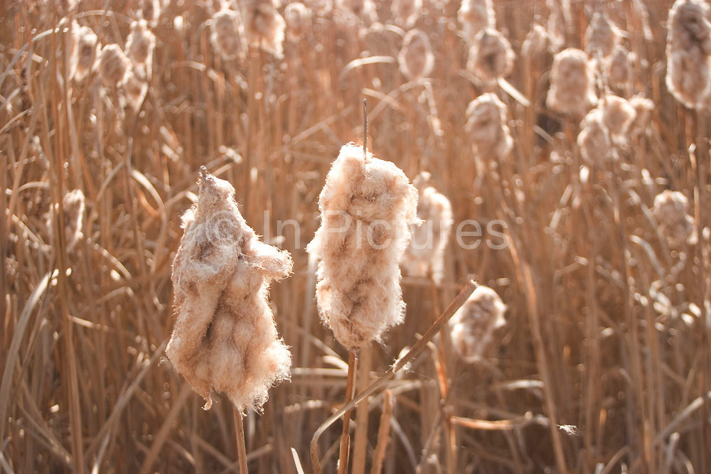 The dried reed beds in a prarie slough go to seed. This area of North Dakota, near to Minot is glacially produced, leaving flat or slightly undulating land and pock-marked with many shallow potholes which fill with water and henceforth reeds.