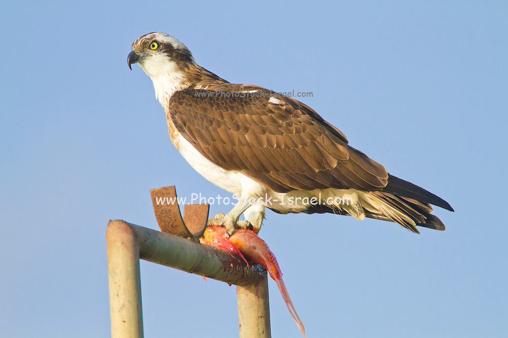 Osprey (Pandion haliaetus) stands with a fish in its talons. This bird of prey is 60 centimetres long and has a 180 centimetre wingspan. It feeds exclusively on fish. Photographed in Israel in March