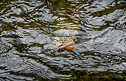 Rainbow trout stocks down a salmonfly on the lower Henry's Fork. Incredibly...amazingly he didn't eat.  Camera put him off as you could see he wanted to.