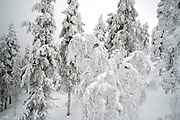 Snowy trees and the Winter landscape of Levi Fell in Finnish Lapland on 12th February 2018