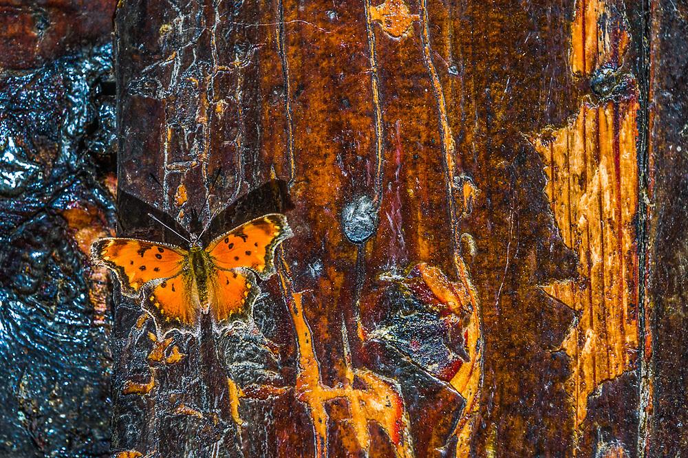 Moth on log cabin exterior wall, afternoon light, September, Hubbard County, Minnesota, USA