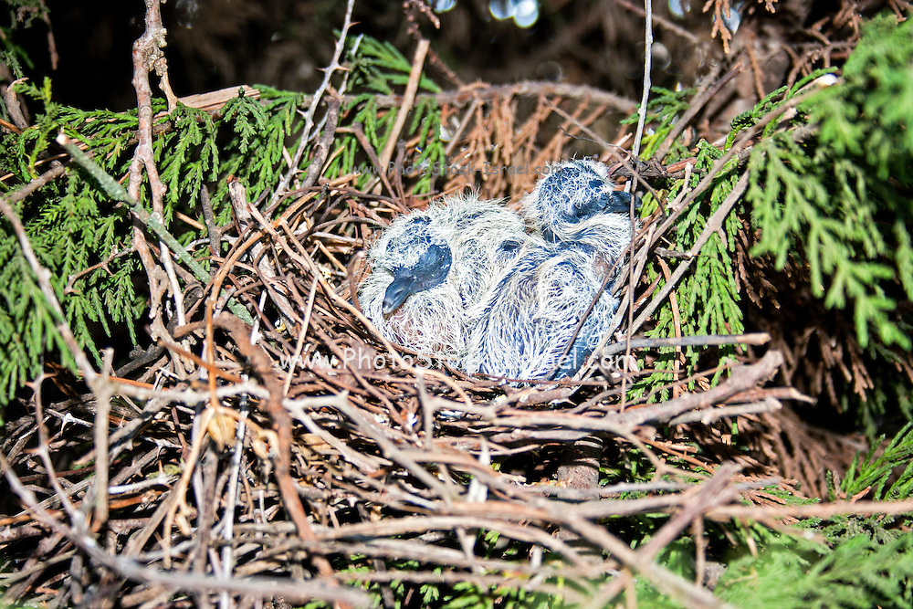 Laughing Dove (Spilopelia senegalensis) hatchlings in a nest. The Laughing Dove is a common resident breeder in Sub-Saharan Africa, the Middle East and parts of the Indian Subcontinent. Photographed in Israel