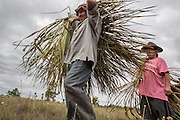 Collection of palm tree leaves, that are used for the houses' roof in the Wapishana community of Katoonarib (Guyana, South Rupununi).