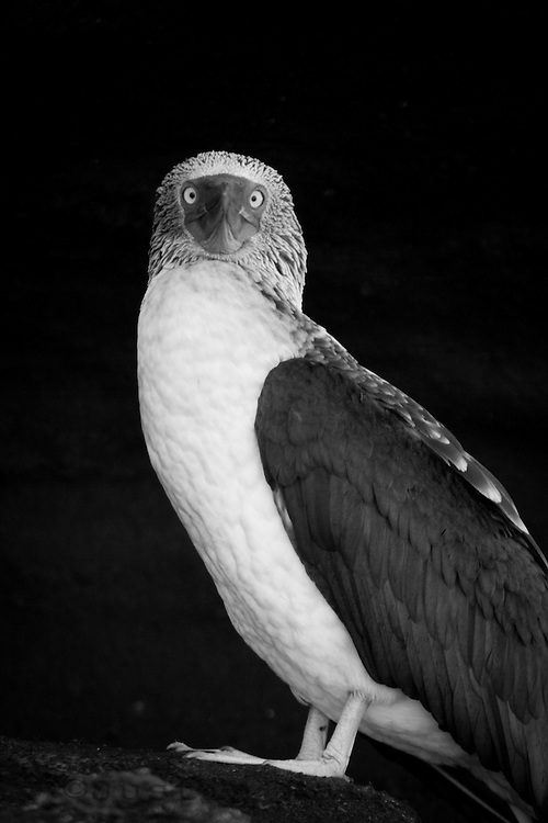 Portrait of Blue Footed Boobie in the Galapagos Islands, Ecuador.