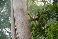 Bornean Orangutan <br />Wurmbii Sub-species<br />(Pongo pygmaeus wurmbii)<br /><br />Adult female Walimah with severely injured foot.  Climbing in to Artocarpus/Ficus stupenda tree to go feed on the figs.<br /><br />Gunung Palung Orangutan Project<br />Cabang Panti Research Station<br />Gunung Palung National Park<br />West Kalimantan Province<br />Island of Borneo<br />Indonesia