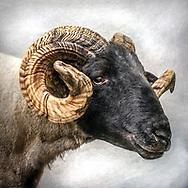 Majestic black faced ram