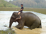 A mahout and his female Asian elephant leave the water after enjoying bathing in the lake at the Elephant Conservation Center (ECC) in Sayaboury province, Lao PDR. The ECC launched in association with the NGO ElefantAsia offers an innovative experience to visitors that combines conservation of the endangered Asian elephant with eco-tourism. Laos was once known as the land of a million elephants but now there are fewer than 900 living in the country. Around 470 of them are in captivity, traditionally employed by a lucrative logging industry. But captive elephants are often overworked and exhausted and as a consequence no longer breed. With only two elephants born for every ten that die, the Asian elephant, the sacred national emblem of Laos, is under serious threat of extinction.
