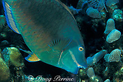 stoplight parrotfish, Sparisoma viride, terminal male,<br /> scrapes algae off of dead coral with beak-like fused teeth <br /> Grand Cayman Island ( Caribbean Sea )