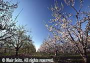 PA landscapes, Apple Orchard Blossoms, Adams County, Pennsylvania