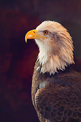 A Bald Eagle Holds A Tight Pose For His Proud Portrait Closeup.