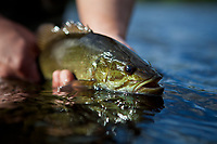 fly caught small mouth bass, Sacandaga River, Adirondacks, New York