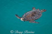 Hawaiian green sea turtle or honu, Chelonia mydas ( Threatened Species ), breathing at surface, Eastern Island, Midway Atoll National Wildlife Refuge, Papahanaumokuakea Marine National Monument, Northwest Hawaiian Islands, USA, Central Pacific Ocean