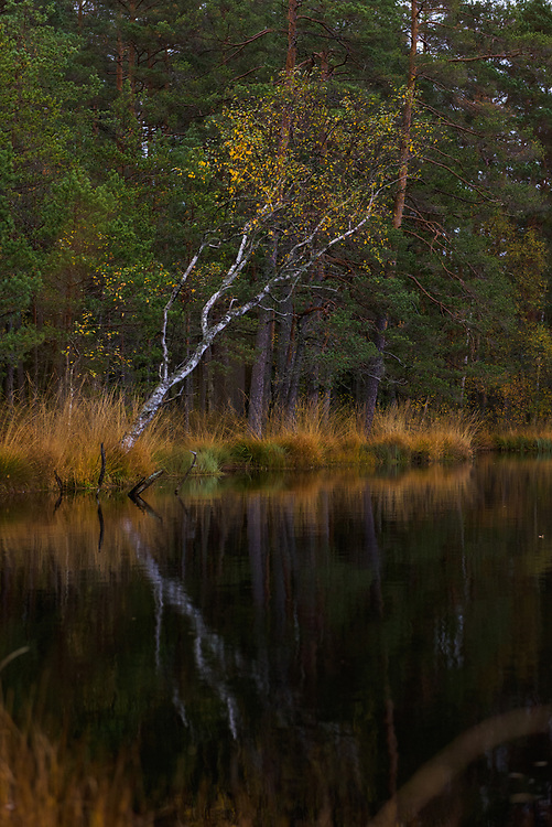 Birch tree (Petula pubescens) with slight touch of autumn growing on side of lake in bog forest with scots pines (Pinus sylvestris), Līņezers at Saules mire, Vidzeme, Latvia Ⓒ Davis Ulands   davisulands.com
