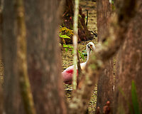 Roseate Spoonbill in a swamp. Brooker Creek Preserve, Pinellas County. Image taken with a Nikon Df camera and 300 mm f/4 lens (ISO 1000, 300 mm, f/4, 1/640 sec).