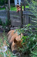 Old Bethpage, New York, USA. 30th August, 2015. LULU, a brown 8-year-old 700 pound Tamworth sow is lying peacefully in a shallow muddy pond in her pigpen at the Powell Farm, as a young girl visitor looks over a rustic wood slat fence at the female hog, during a hot summer afternoon during the Old Time Music Weekend at Old Bethpage Village Restoration. Dark mud coats the pig's long snout.