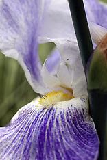 Iris Flowers Royalty Free Stock Images