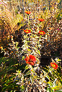 Red zinnia flowers in a garden. WATERMARKS WILL NOT APPEAR ON PRINTS OR LICENSED IMAGES.